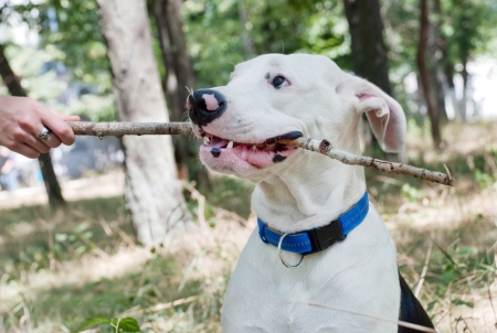 A white dog sits with a stick in his mouth as the owner tries to remove it.
