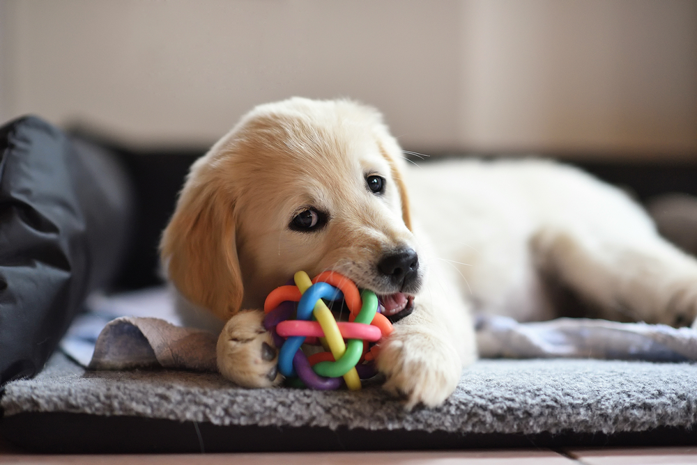 Small puppy chews on a rubber ball.