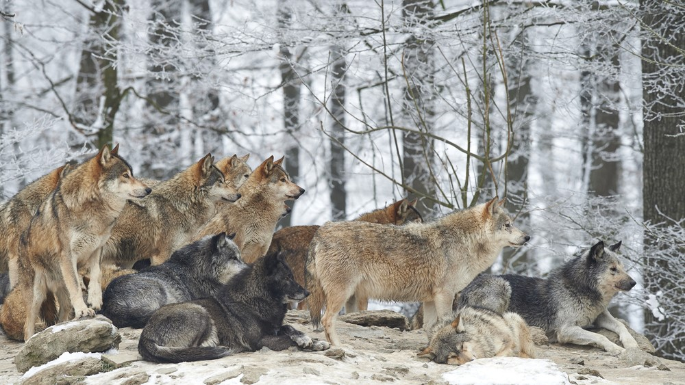 Wolves are crowded around each other in the snowy forrest.