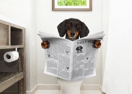 Small dog sits on the toilet reading a newspaper.