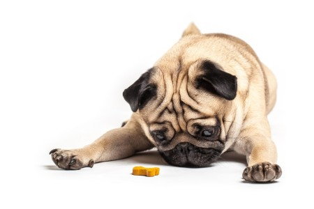 Small pug stares at a treat beneath his nose.