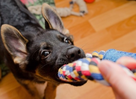 German Shepard puppy plays tug with a rope toy.