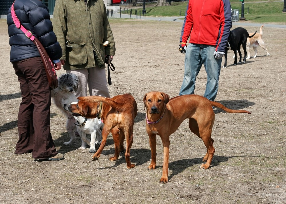 Dogs stand near their owner in a dog park