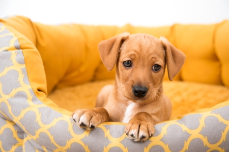 A small brown puppy lays in his dog bed.