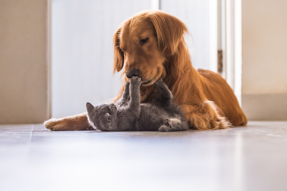 An adult dog and kitten play with each other.