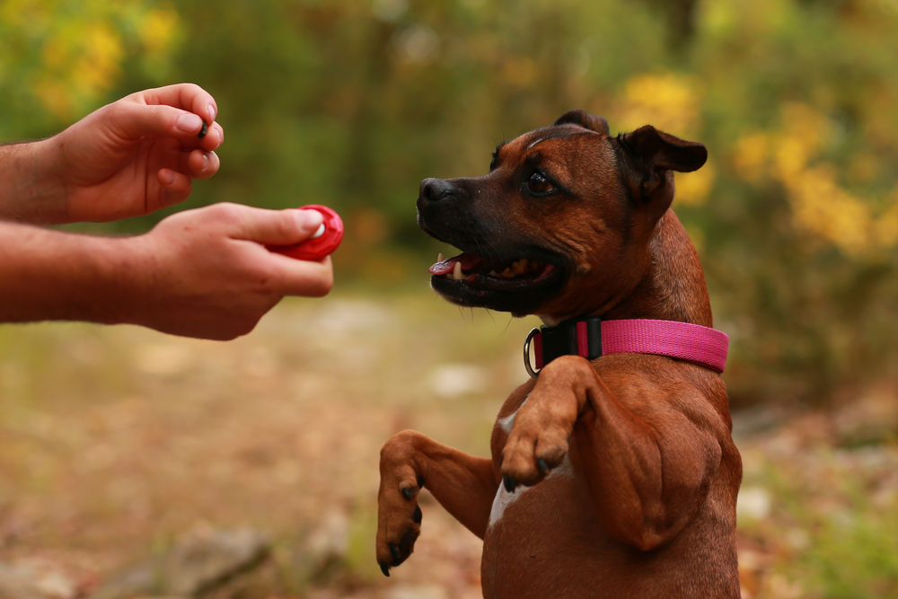 A man uses a clicker to train his dog in the park.