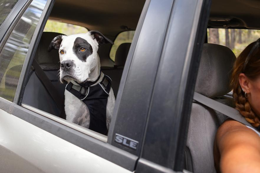 Dog rides in the back seat with his harness secured.