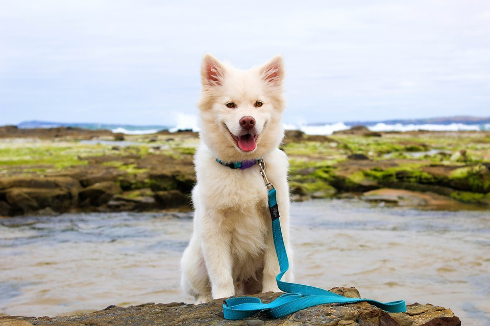 Half grown white dog sits on a large rock near the water.