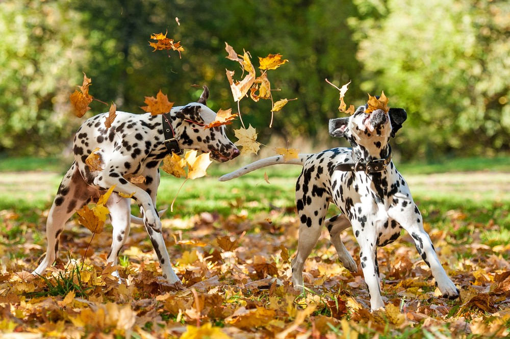 Two Dalmations Play In The Fallen Leaves