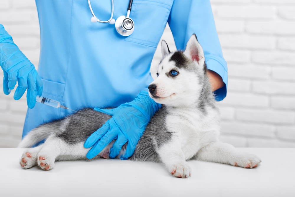 Small Husky puppy is receiving a shot from the vet.