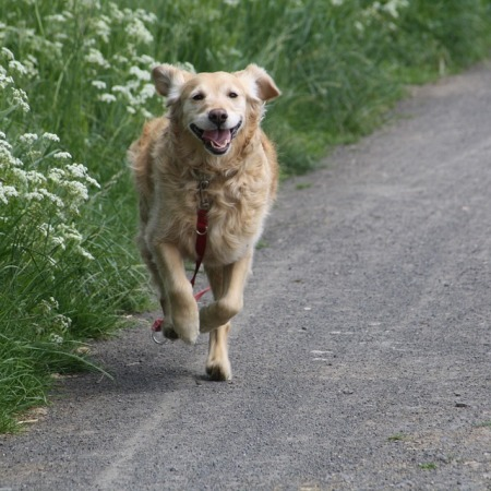 Golden Retriever running towards his owner.