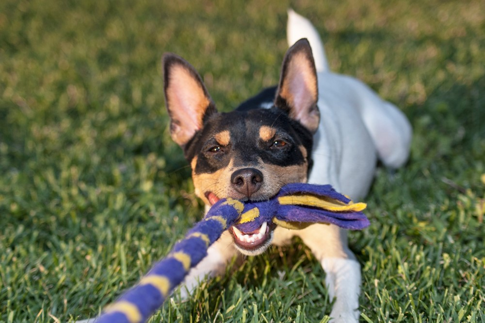Small black and white dog plays tug of war with a rope toy.
