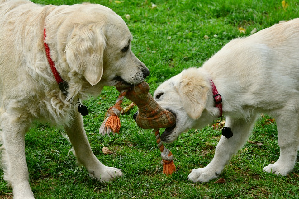 Two dogs play tug of war with a rope toy.