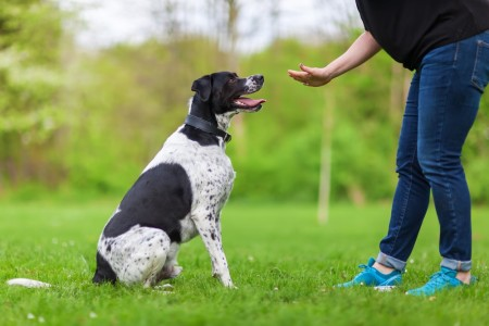 Black and white dog sits as owner provides hand cue.