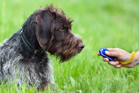 A woman is perfoming clicker training with her dog in a green field.