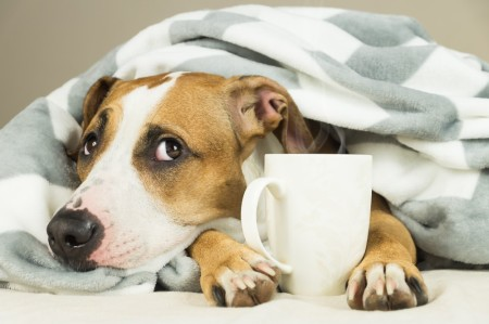 Dog lays under a blanket with a coffee cup between his paws.