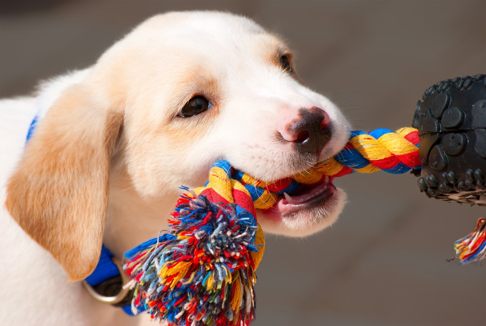 Small brown puppy is teething on a thick rope toy.