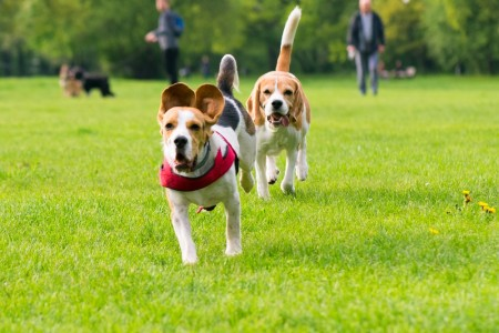 Dogs run around and play in a park.